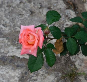 Hybrid_tea_rose_-_Korlita